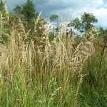 Bluejoint reedgrass