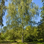 Weeping birch